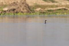 0726 Head Over Water (Hrvoje Simich - gaZZda) Tags: green blue outdoors nature wild chitwan nepal asia nikon nikond750 sigma150500563 gazzda hrvojesimich