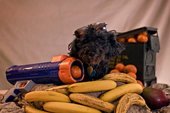 Dog days of the fruit war (jkotrub) Tags: dog fruit banana orange mandarin cute adorable war fruitwar battle cool nerf portrait foxhole bunker stock stockphoto weird strange mashup 52in2018