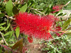 Callistemon (Bogdan J.S.) Tags: europa europe włochy italia italy capri callistemon kwiat blossom flower natura nature rośliny plants czerwony red
