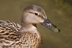 (Carlos Santos - Alapraia) Tags: pato duck ngc ourplanet animalplanet canon nature natureza wonderfulworld highqualityanimals unlimitedphotos fantasticnature birdwatcher ave bird pássaro