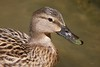 (Carlos Santos - Alapraia) Tags: pato duck ngc ourplanet animalplanet canon nature natureza wonderfulworld highqualityanimals unlimitedphotos fantasticnature birdwatcher ave bird pássaro