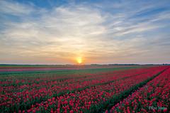 Tulips (Rene Mensen) Tags: drenthe d5100 valtermond rene mensen sun sunset sky tulips thenetherlands
