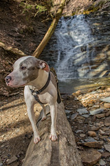 Juneau at Buttermilk Falls (kevincarlvail) Tags: pitbull dog waterfall water nationalpark cuyahogavalleynationalpark ohio park natural nature