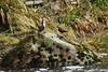 464A8506 (Cilmeri) Tags: birds rivers afonglaslyn beddgelert bbcwalesnature bbcspringwatch snowdonia eryri wales
