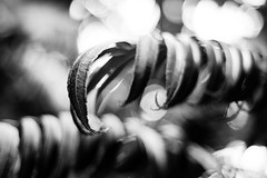 Clawing Back (belleshaw) Tags: blackandwhite huntingtongardens nature branch leaves tree claw fingers plant detail abstract curves bokeh