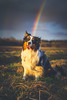 Pot of gold (der_peste (on/off)) Tags: dog aussie rainbow funny cute australianshepherd bordercollie canine hund happydog sunshine evening sunset sky eyes