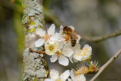 Printemps, reviens!!! (jpto_55) Tags: fleur abeille insecte proxi bokeh xe1 fuji fujifilm fujixf55200mmf3548rlmois hautegaronne france ngc