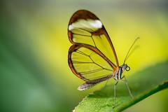Glaswing (michel1276) Tags: vintagelens vivitarseries1 vivitar makro nature natur macro manualfocus bokeh bokehlicious butterfly bokehful bokehlove schmetterling schmetterlingshaus