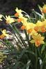 Sunshine and Daffodils (jchants) Tags: 16whatareyougratefulfortoday 118in2018 universityofwashington universityofwashingtonquad daffodils yellow orange green spring