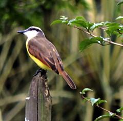 Kingbird (asterisktom) Tags: kingbird flycatcher bird vogel ave 鸟 птица 鳥 pajaros tripsouthamerica2017 2017 august colombia medellin