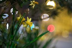 Nikon Nikkor 35mm f/ 1.4 - DSCF5431 (::nicolas ferrand simonnot::) Tags: nikon nikkor 35mm f 14 1977 | 9 blades aperture paris 2018 bokeh depth field color vintage manual classic japanese fixed length prime lens profondeur de champ flower close up macro yellow purpple extérieur wideopen wide open fleur daffodils jonquille daffodil