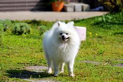 puppy (Lyao_1) Tags: animal taiwan canon eos 650d flower photo plant puppy photography tree nature lens sun green grass paddyrice colorful sky 博美 柴犬 水稻 花 樹 天空 草 自然 攝影