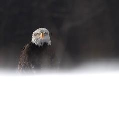 (bone surgeon) Tags: flight wild forest snow nature eagle baldeagle birdofprey