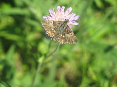Carcharodus floccifera - Tufted marbled skipper - Толстоголовка шандровая (Cossus) Tags: carcharodus hesperiidae pyrginae 2006 анциферово толстоголовка skipper