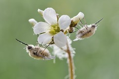 *Bee Flies wrapped in morning dew* (Albert Wirtz @ Landscape and Nature Photography) Tags: bombyliusmajor wollschweber groserwollschweber gemeinerwollschweber beefly natur nature bombyliidae diptera brachycera fliegen zweiflügler saxifragagranulata knöllchensteinbrech germany deutschland rheinlandpfalz rhinelandpalatinate südeifel moseleifel eifelmosel wittlich bergweiler makro macro makrofoto nikon d700 micronikkor105mmf28vr spring frühling weissersteinbrech steinbrech saxifragaceae