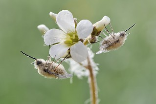 *Bee Flies wrapped in morning dew*