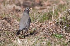 American Robin (chlorophonia) Tags: americanrobin birds animals vertebrates turdidae animalia thrushes turdusmigratorius