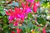 Фуксия (Oleg Nomad) Tags: кито эквадор ботаническийсад цветы растения орхидеи кактус зелень quito ecuador botanicalgarden flowers orchids america travel