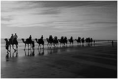 DSC_0320(2) (Tartarin2009) Tags: noiretblanc blackandwhite westernaustralia broome cablebeach caravane beach camels dromadaires nikon d80 travel