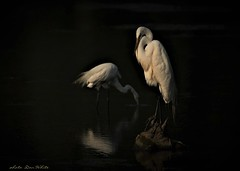 calm (don.white55 That's wild...) Tags: adorning mating plumage great egrets greategretardeaalba thatswildnaturephotography donwhite canoneos70d tamronsp150600mmf563divcusda011 tamron150600mm bird birdwatching bigbeak bigbird beak canon dauphincounty e ngc npc fabuleuse