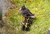 P2020240 (jeanchristophelenglet) Tags: cergyfranceparcdelapréfecture canardcolvert mallardwildduck patoreal caneton babyduck patinho laceau lakewater lagoagua