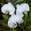 Chicago, Navy Pier, Chicago Flower & Garden Show, White Orchid Trio (Mary Warren 10.3+ Million Views) Tags: chicago navypier chicagoflowergardenshow nature flora plants white blooms blossoms flowers orchids