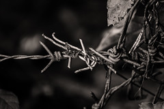 Symphony of Sorrow (Triple_B_Photography) Tags: canon eos 7d bali blackandwhite blackwhite grain sepia filter barbedwire intensity symphony sangeh emotions 3 inspirationofmusic