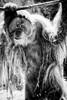 Teak Strikes A Pose (Southern Darlin') Tags: orangutan louisville zoo hair face endangered primate animal wild wildlife bw blackandwhite monochrome
