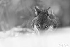 Gray Wolf (12) (Rob Blanken) Tags: graywolf wolf belarus bw