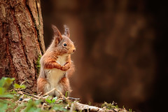 formby red 3 (stevehimages) Tags: steve steveh higgins warden wowzers 2018 red squirrel formby national trust nature fur endangered cute