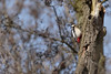 Rat tat tat tat (Jacko 999) Tags: woodpecker great spotted canon eos 7d mark ii ef100400mm f4556l is usm bird robert eede stodmarsh wildlife birding spring pretty