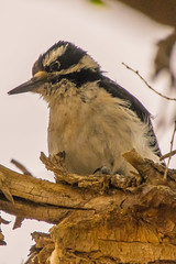 Home Visitor - Hairy Woodpecker (phicks172) Tags: homevisitorhairywoodpecker dsc2803edited1 nature birds hairywoodpecker unitedstates newmexico socorro