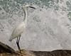 IMG_2498_hoping for a flying fish. (lada/photo) Tags: greatwhiteegret bird nature fauna ladaphoto splashingwater rocks