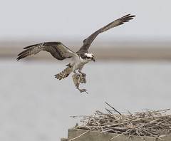What nest would be complete without this addition? (Mawrter) Tags: osprey nest nesting cloudy canon overcast nature wild wildlife bird birds birding avian sky water flight fly flying action motion