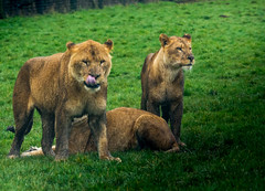 Longleat Safari Park, Wiltshire (geoffbutton_images) Tags: pussycat mothernature regal insta animal nature cat flickr kingofthejungle wildlife march england wiltshire lioness wildcat lion 2018 throglass danger