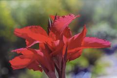 Be Bold! (Karon Elliott Edleson- away for awhile) Tags: redflower tropical springflower garden closeup bold vibrant sandiegobotanicgarden smileonsaturday springflower20172018
