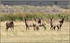 Tule Elk 3003 (maguire33@verizon.net) Tags: tuleelk elk endemic wildlife bigpine california unitedstates us