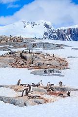 Antarctica-111124-928 (Kelly Cheng) Tags: antarcticpeninsula antarctica pleneaubay pleneauisland animals blue color colorful colour colourful day daylight fauna landscape mountain nature nopeople nobody outdoor penguins sunny sunshine tourism travel traveldestinations vertical vivid white