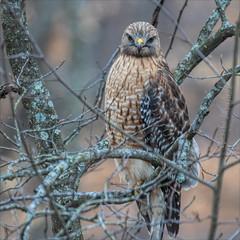 Waiting On My Next Meal (glenda.suebee) Tags: hawk wildlife redshouldered ohio march 2018 glendaborchelt ohiofoothills feathers explore