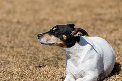 Jack Russell Terrier (Szhlopp) Tags: jack russel terrier dog doggy days outside outdoors sunny breeze happy smile smiles pet animal friend white black eos digital sunshine 7dwf dof sunlight light art sun new grass field canon 5d 70200 mk iv