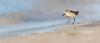 Least Sandpiper (ayres_leigh) Tags: bird animal canon nature wildlife presquile sandpiper least 400mm