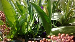 Tulip with bud in trough on balcony 20th March 2018 (D@viD_2.011) Tags: tulip with bud trough balcony 20th march 2018