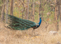 Indian Peafowl - Pavo cristatus (Gary Faulkner's wildlife photography) Tags: indianpeafowl pavocristatus