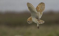 Barn Owl - The bird that really got us started (Ann and Chris) Tags: avian amazing awesome adorable bird beak cute close feathers flying gorgeous hunting hovering hunt barnowl barn outdoors owl predator raptor stunning wildlife wild wings