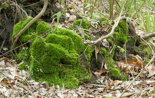 Green velvet moss on a tree stump