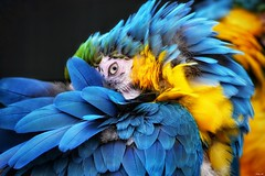 """Ugh.. it's Monday""! (Nina_Ali) Tags: avian bird macaw tropicalbirdland desford leicestershire vibrant feathers colour mm macro closeup 7dwf"