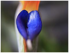Blue heart in Paradise (Greenstone Girl) Tags: flowers leaves autumn strelitzia bird paradise theblues macromonday heart