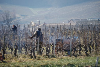The work of the vineyard in winter