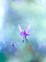 looking downward (Tomo M) Tags: dogtoothviolet katakuri カタクリ erythroniumjaponicum forest bokeh purple nature spring flower 城山カタクリの里