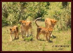 FEMALE LIONESS (Panthera leo) WITH CUBS......MASAI MARA......SEPT 2017 (M Z Malik) Tags: nikon 200400mm14afs kenya africa safari wildlife masaimara keekoroklodge exoticafricanwildlife exoticafricancats flickrbigcats leo lioncubs lioness pantheraleo ngc npc
